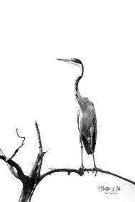 Heron BW