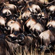Wildebees 3